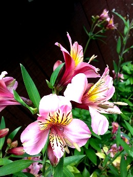 Альстромерия - цветок из породы лилейных